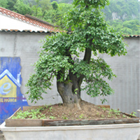 盆景苗木,金弹子,紫薇树,中华蚊母,对接白蜡,长阳盆景