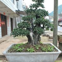 供应长阳盆景苗木,金弹子,紫薇树,中华蚊母,对接白蜡