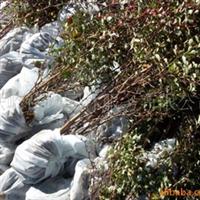 供应绿化苗木紫叶小檗、红叶小檗、模纹、灌木绿篱