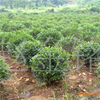 供应灌木水腊绿篱、绿化苗木水腊小苗、水腊球、水蜡小苗