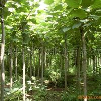 供应梓树、梧桐树、苗木花卉、梓树、黄金树、大梧桐、小苗