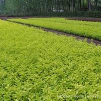 苗木基地大批量自产自销供应:雀舌黄杨苗,雀舌黄杨球