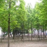 沭阳苗木基地独家地头价直供水杉