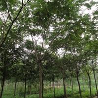 山东合欢 垂柳 当年榆树小苗 精品8-15白蜡 惠民国槐  柽柳
