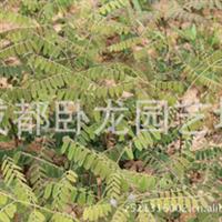 批发苗圃一年生 绿化苗木 高大乔木 肥皂角肉皂角树(皂荚)小苗