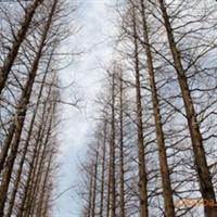 长期供应:低价水杉2-15公分