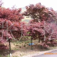 红枫!2-10公分红枫!绿化苗木!景观树!