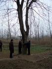 我公司大量供应40公分皂角树