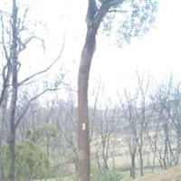 供应优质大樟树