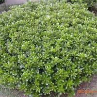 供应绿化苗木红叶小檗、金叶女贞、冬青、龙柏