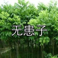 无患子 木患子 油患子 苦患树
