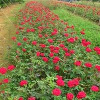 供应优质丰花月季种苗、藤本月季花苗大花月季红帽子月季,甘肃月