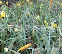 大量供应大花萱草,陕西大花萱草,各种绿化苗木花卉直销