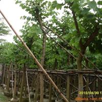 供应绿化苗木:红花紫荆(羊踢甲)