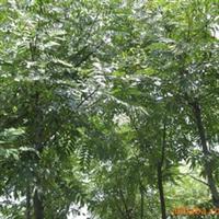 供应常绿大乔木:铁刀木