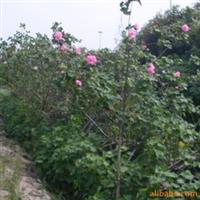 供��中�佑^花植物:木芙蓉