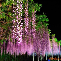 供��攀�Γù怪保�、花架、���凇⑽蓓�的植物:紫藤
