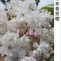 供别墅庭院绿化精品苗木 有日本普贤樱、日本红枫、桂花、海棠等