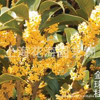 专供庭院绿化精品苗木 有桂花、金球桂、日本樱花、日本红枫等