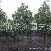 上海花海园艺场直销广玉兰、玉兰、樱花、红枫、桂花等绿化苗木