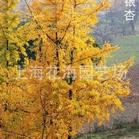 上海花海园艺场直销银杏、嫁接银杏、樱花、红枫、桂花等绿化苗木