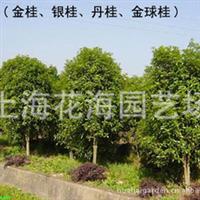 上海绿化大型苗木基地—花海园艺场 供樱花,红枫,桂花,海棠,枇杷