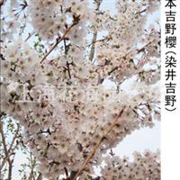 别墅庭院绿化精品苗木 有日本染井吉野,桂花,红枫,垂丝海棠等