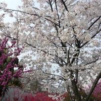 专供别墅庭院绿化精品苗木 有樱花、桂花、日本红枫、垂丝海棠等