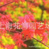 专供别墅庭院绿化苗木 有红枫、日本红枫、桂花、樱花、海棠等