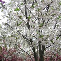 专供别墅庭院绿化精品苗木 有日本樱花,桂花,日本红枫,垂丝海棠等