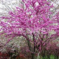 专供别墅庭院绿化苗木 有紫荆、桂花、日本红枫、樱花、海棠等