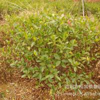 专业培植出售大量绿化苗木大叶栀子