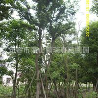 供应树苗 朴树 瑞春苗圃 优质句容朴树 树苗