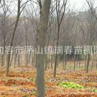 江苏句容瑞春苗圃场 榉树3-12公分 优质榉树