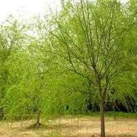 供应苗木园林苗木 垂柳等绿化苗木
