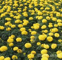 供应三色堇,鸡冠花,三色堇价格,三色堇培育基地