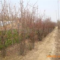 供应木瓜海棠