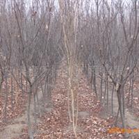 大量供应紫叶李3-5厘米5-8厘米