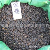 2012直供速生国槐种子