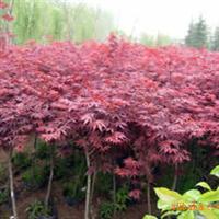 泰安神州园林出售各类规格绿化苗木 绿化小苗——红枫