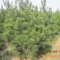 泰安神州园林低价出售绿化苗木乔木树白皮松