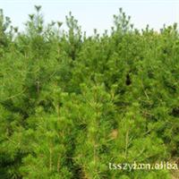 【图片实地拍摄】供应全国范围绿化苗木大树白皮松