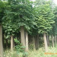 大量出售栾树 各种规格的栾树 低价(图)