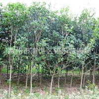 供应桂花树 大规格小规格桂花树 低价(图)