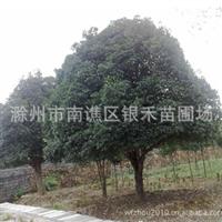 供应桂花树 四季桂花树 移栽桂花树 低价销售(图)