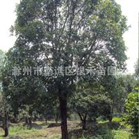 供应桂花树 优质桂花树 精品桂花树 自产自销(图)