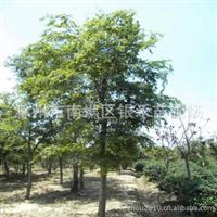 大量供应绿化灌木 栾树 优质栾树(图)