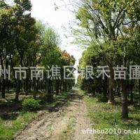 供应榉树 榉树苗 材质坚硬 量大从优(图)