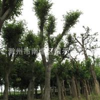 长期供应各种大小的榉树 绿化树苗(图)