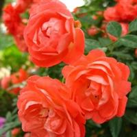 供上万盆金叶女贞、红叶小檗、卫矛、冬青、月季花。